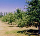 Certified Organic Apple Trees